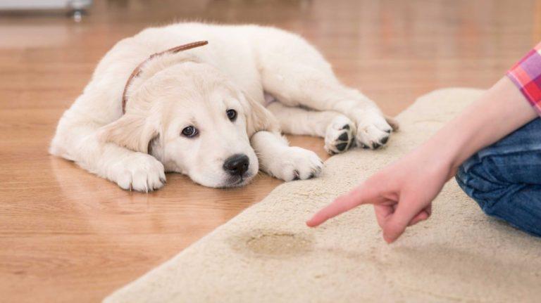 Potty Train A Puppy 2020 Quick Guide