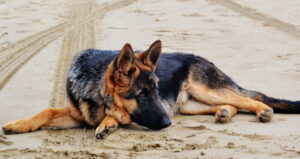 Can German Shepherds Live in Hot Weather