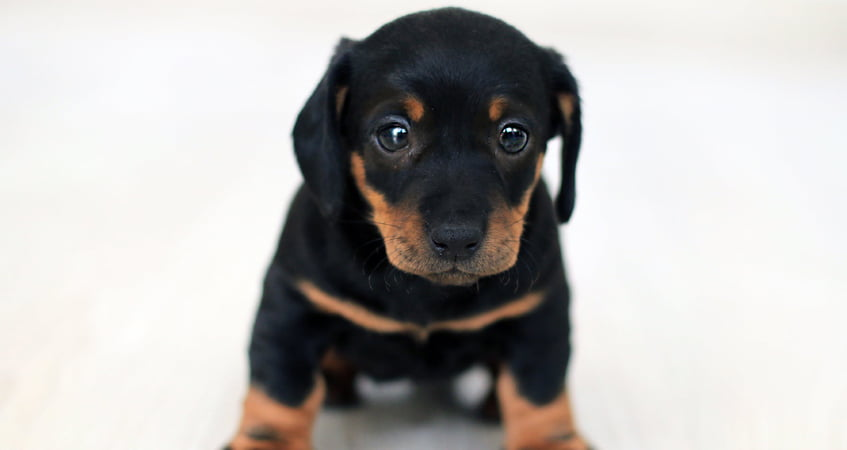 At What Age do Rottweilers Become Protective?