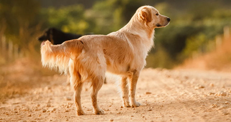 Do Golden Retrievers Change Color As They Grow?