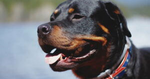 Why Is My Rottweiler not Barking? Here's The Reason