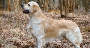 Why My Golden Retriever Short