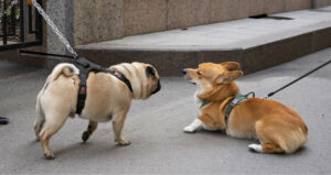 Do Corgis Get Along With Other Dogs?