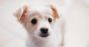 How Far Can a 12 Week Old Puppy Walk?